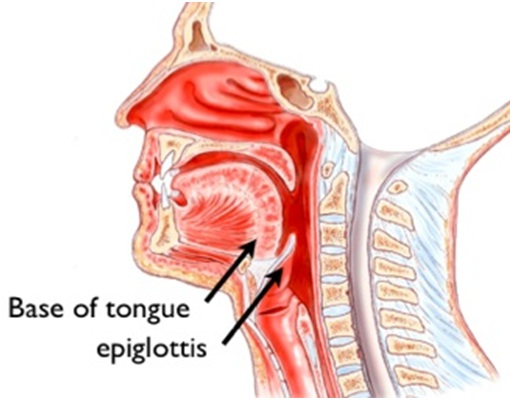epiglottis function in digestive and respiratory systems
