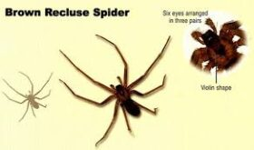 Brown Recluse Spider Bite, Symptoms, Causes, Treatment