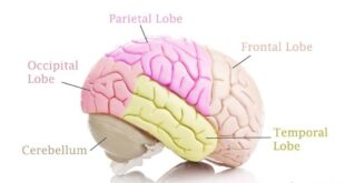 Encephalomalacia (softened Brain Tissue) Definition, Symptoms, Treatment