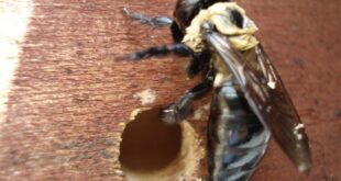 How to get rid of Carpenter Bees naturally?